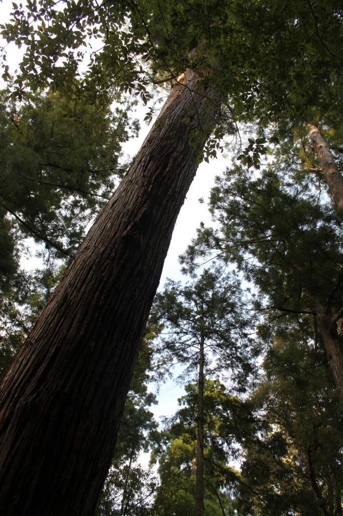 伊勢神宮内宮の樹木