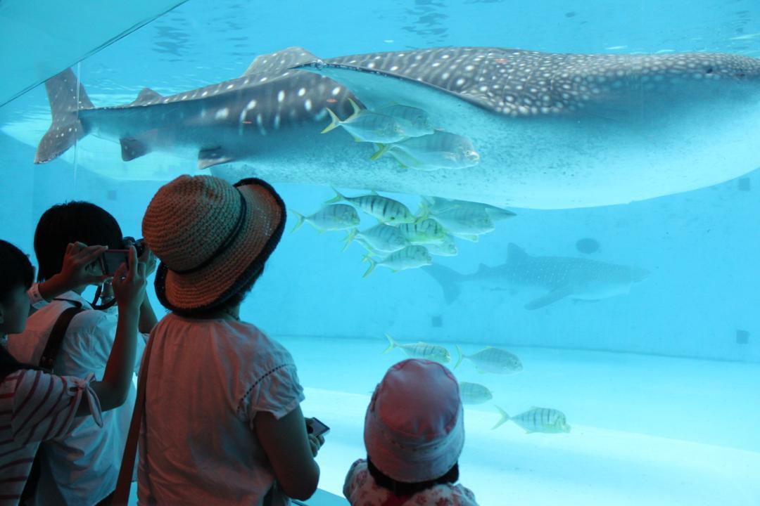 横浜八景島シーパラダイスの水族館アクアミュージアムにいるジンベイザメ