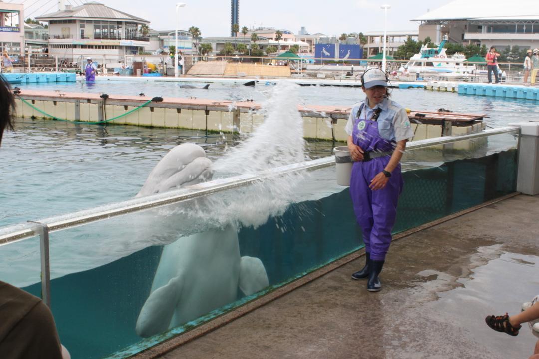 横浜八景島シーパラダイスのふれあいラグーンにいるシロイルカ