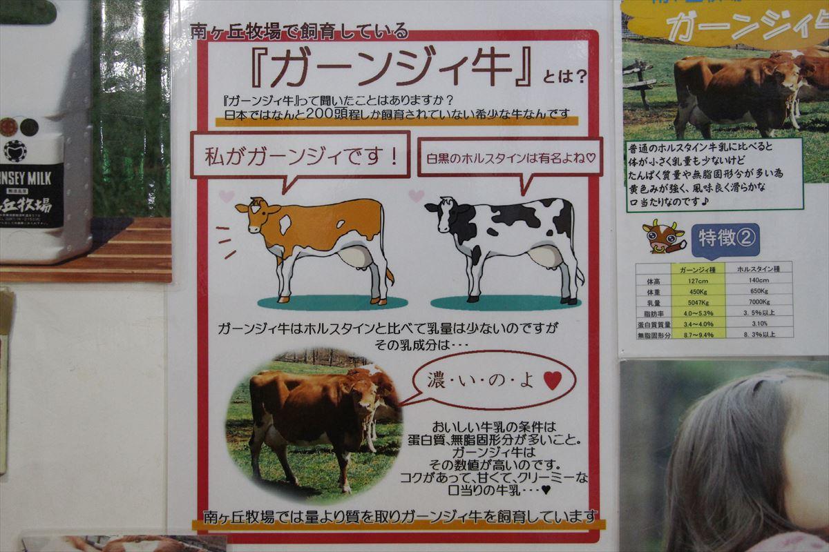 福島県の磐梯南ヶ丘牧場のガーンジィ牛