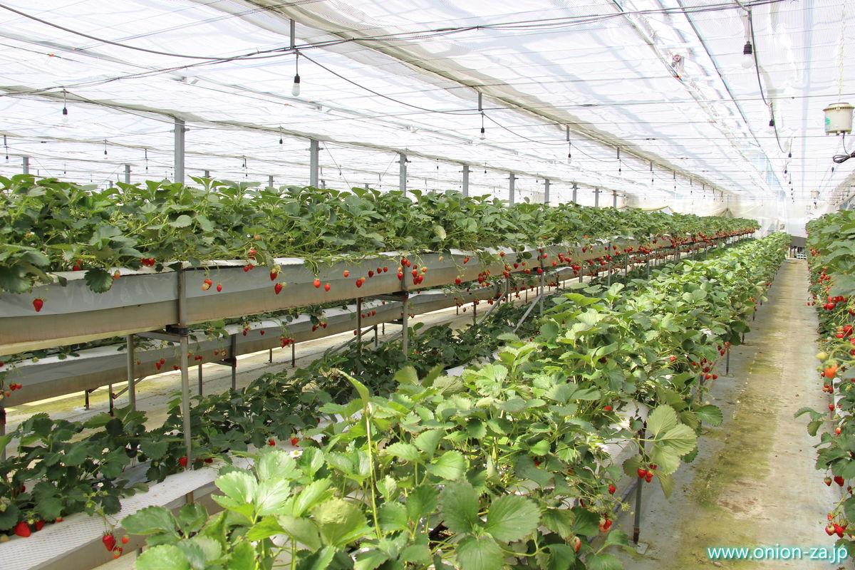 福島県のイチゴ狩り「四季の里いちご園」のイチゴ畑