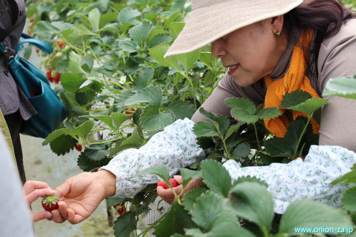 福島県の苺狩り「四季の里いちご園」の苺の取り方