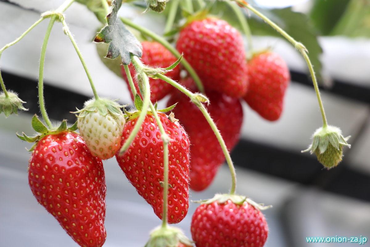 福島県の苺狩り「四季の里いちご園」の苺