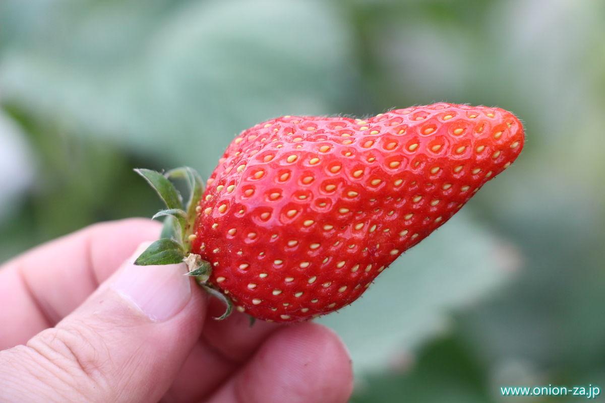 福島県の苺狩り「四季の里いちご園」のもぎ取り方2