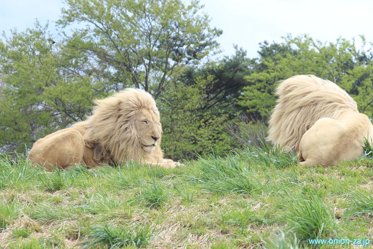 東北サファリパークのライオン雄