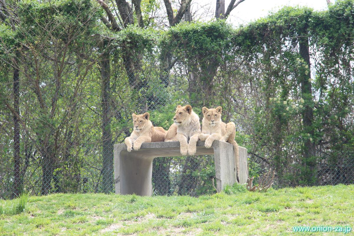 東北サファリパークのライオンは可愛い