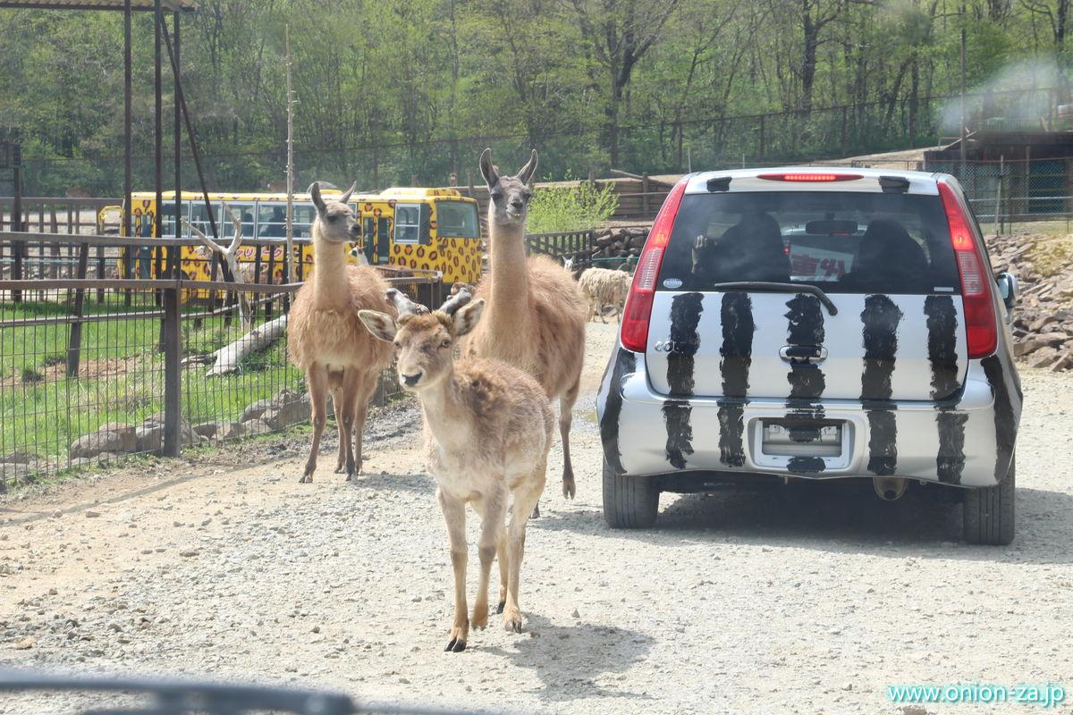 東北サファリパークで草食動物に襲われる