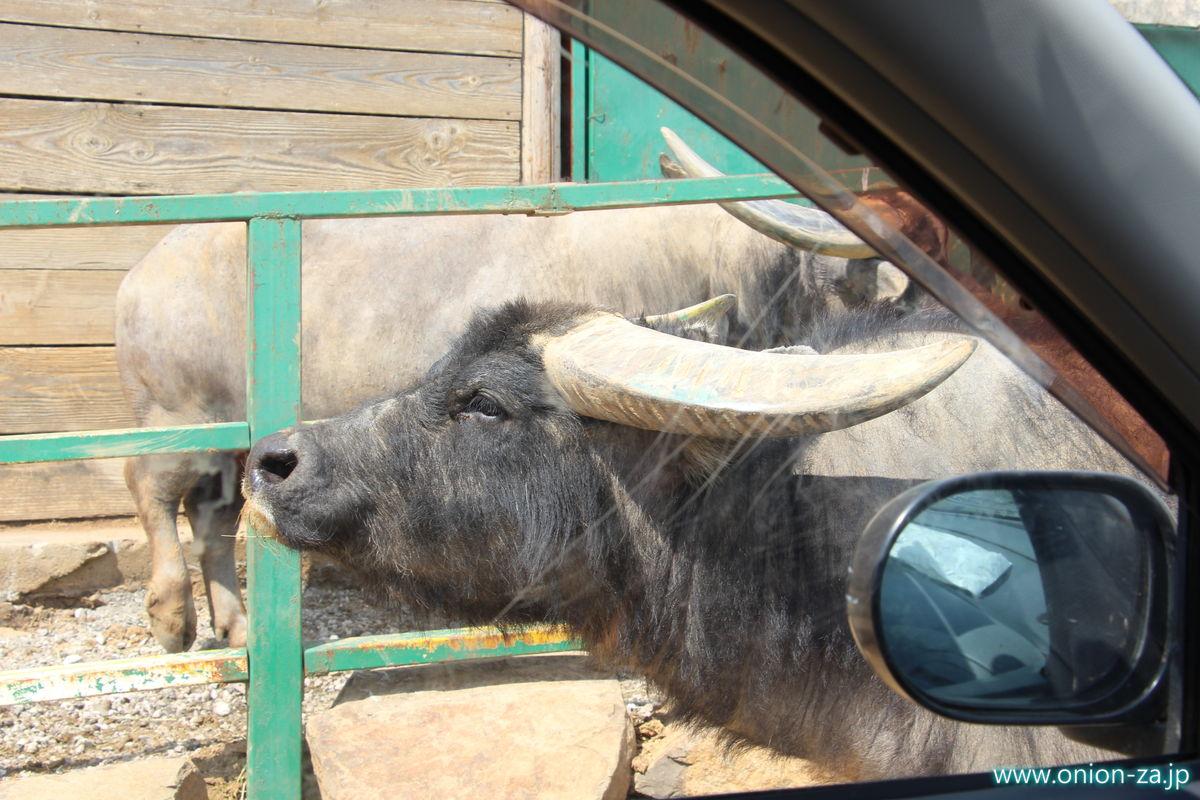 東北サファリパークで水牛にも囲まれる