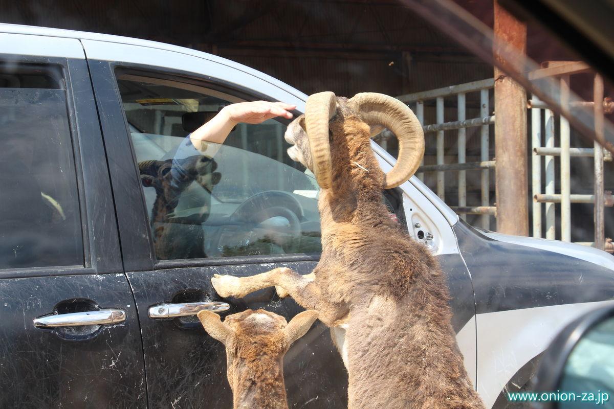 東北サファリパークの羊が積極的