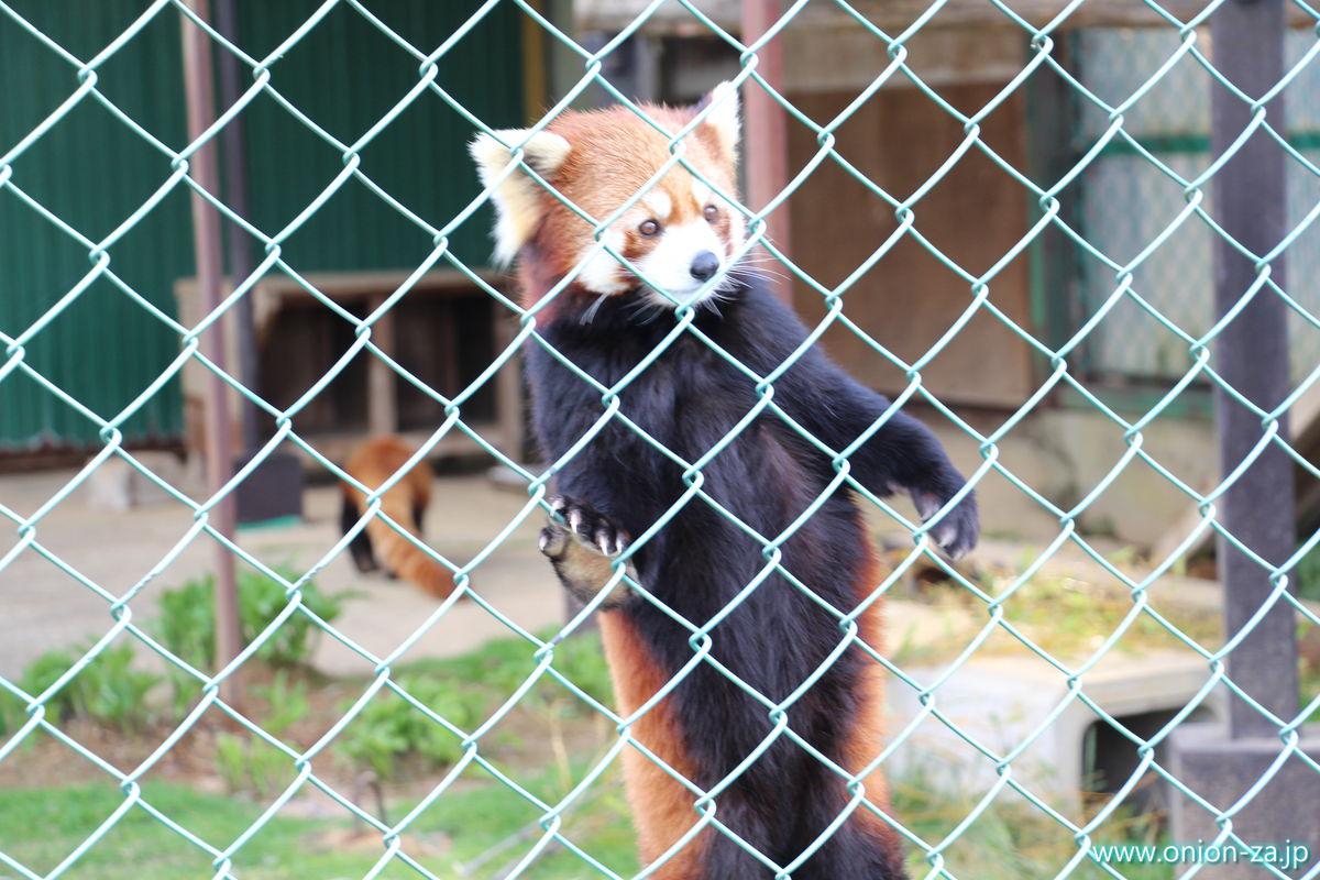 東北サファリパークのレッサーパンダさん