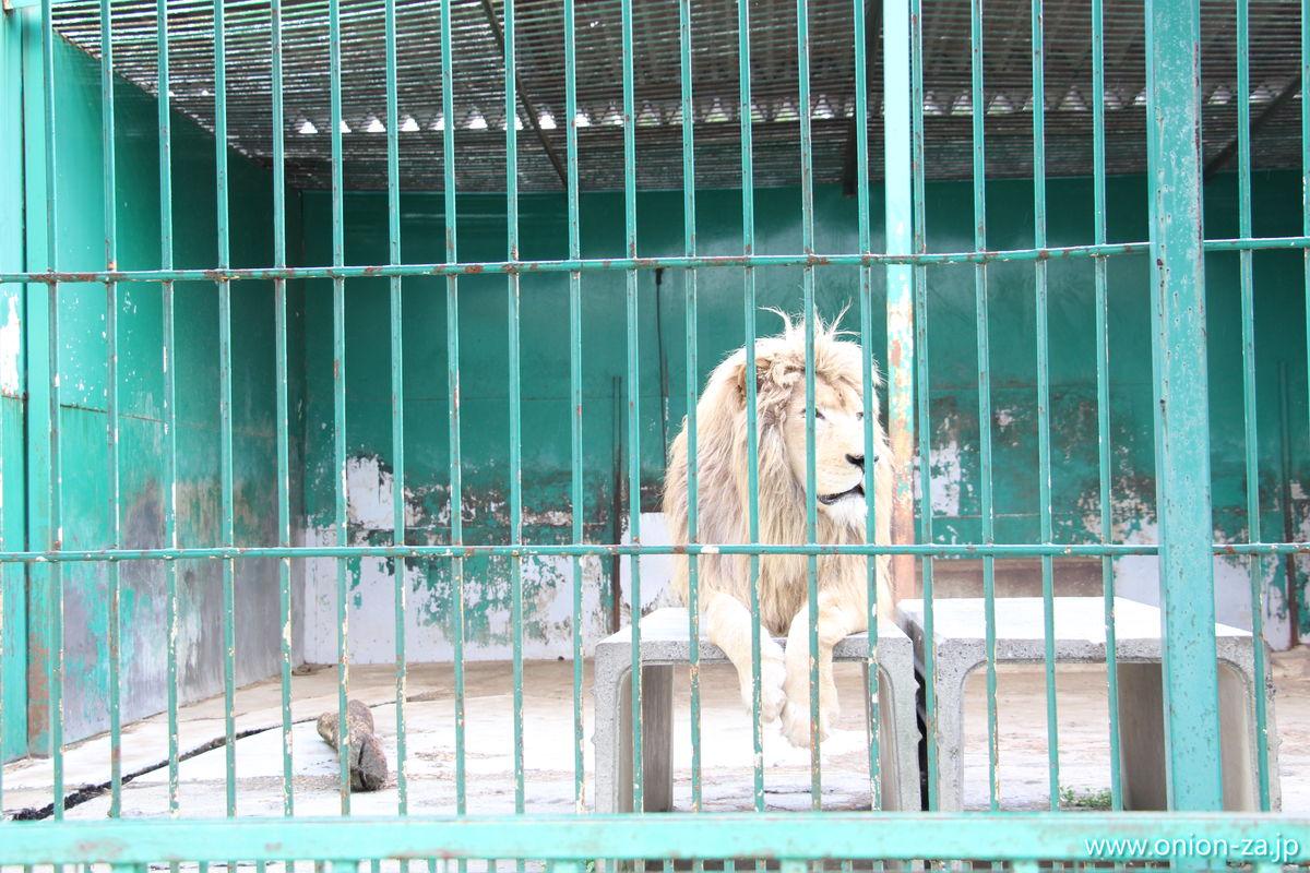 東北サファリパークの名物ホワイトライオン